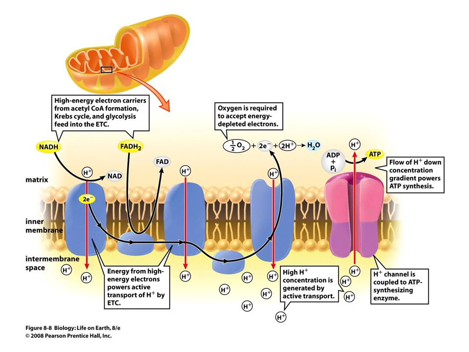 FIGURE 8-8 The electron transport chain of mitochondria
