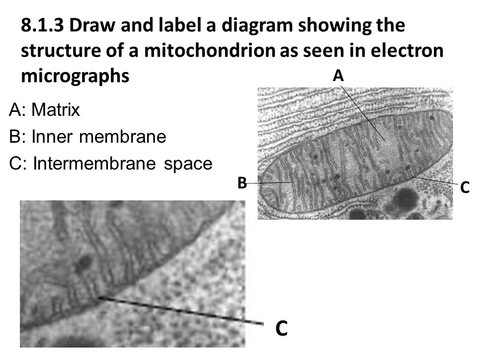 8.1.3 Draw and label a diagram showing the structure of a mitochondrion as seen in electron micrographs