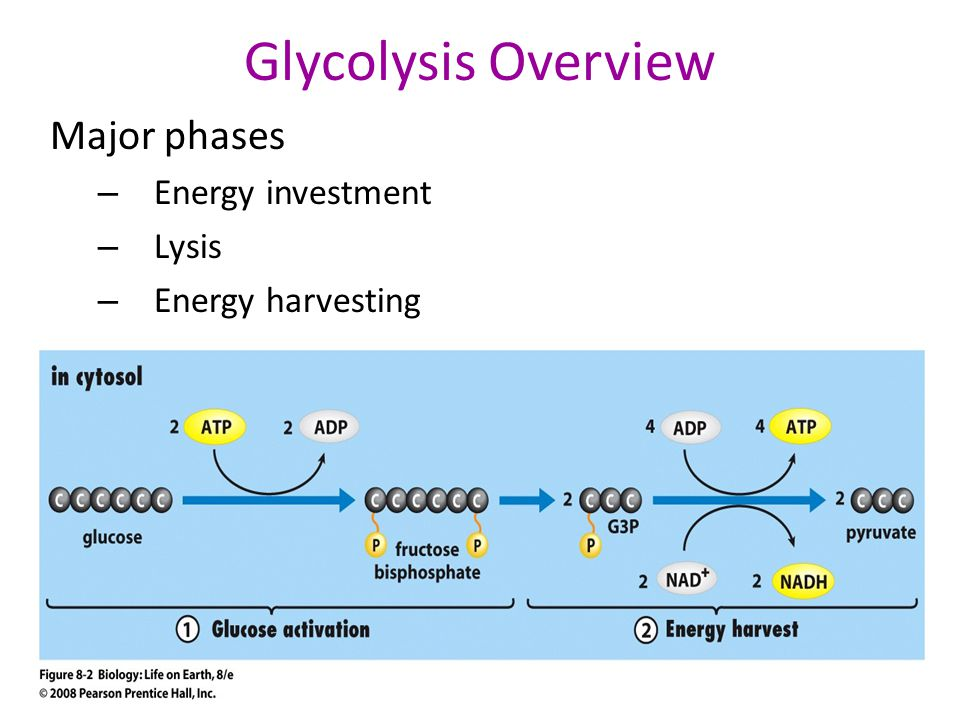 Glycolysis Overview Major phases Energy investment Lysis