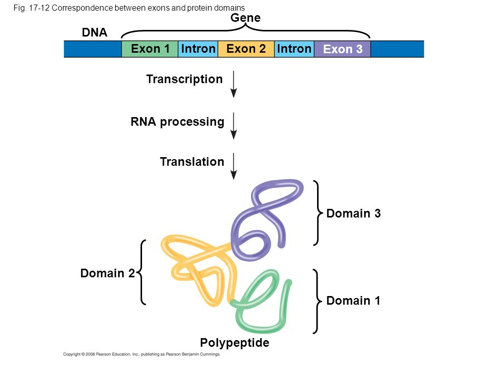 Gene DNA Exon 1 Intron Exon 2 Intron Exon 3 Transcription