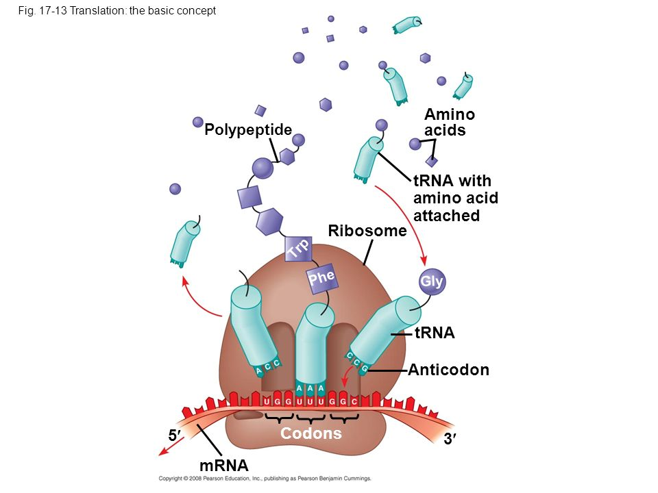 Amino acids tRNA with amino acid attached Ribosome tRNA Anticodon 5