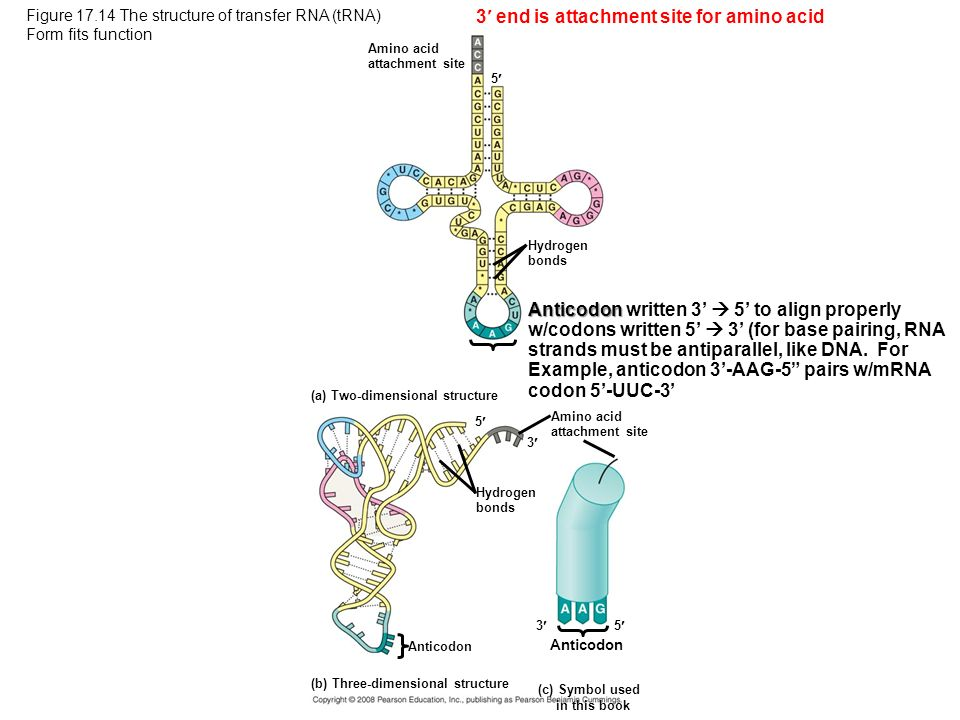 3 end is attachment site for amino acid