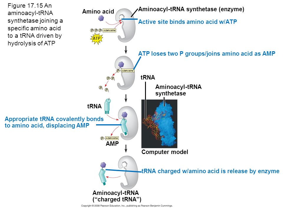 Figure An aminoacyl-tRNA synthetase joining a specific amino acid to a tRNA driven by hydrolysis of ATP