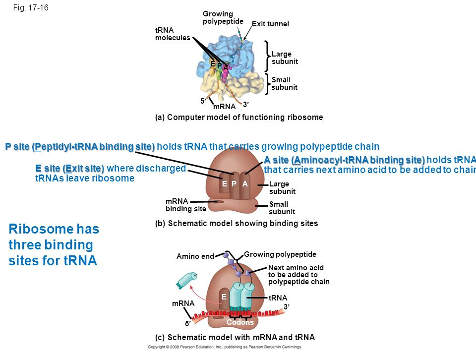 Ribosome has three binding sites for tRNA
