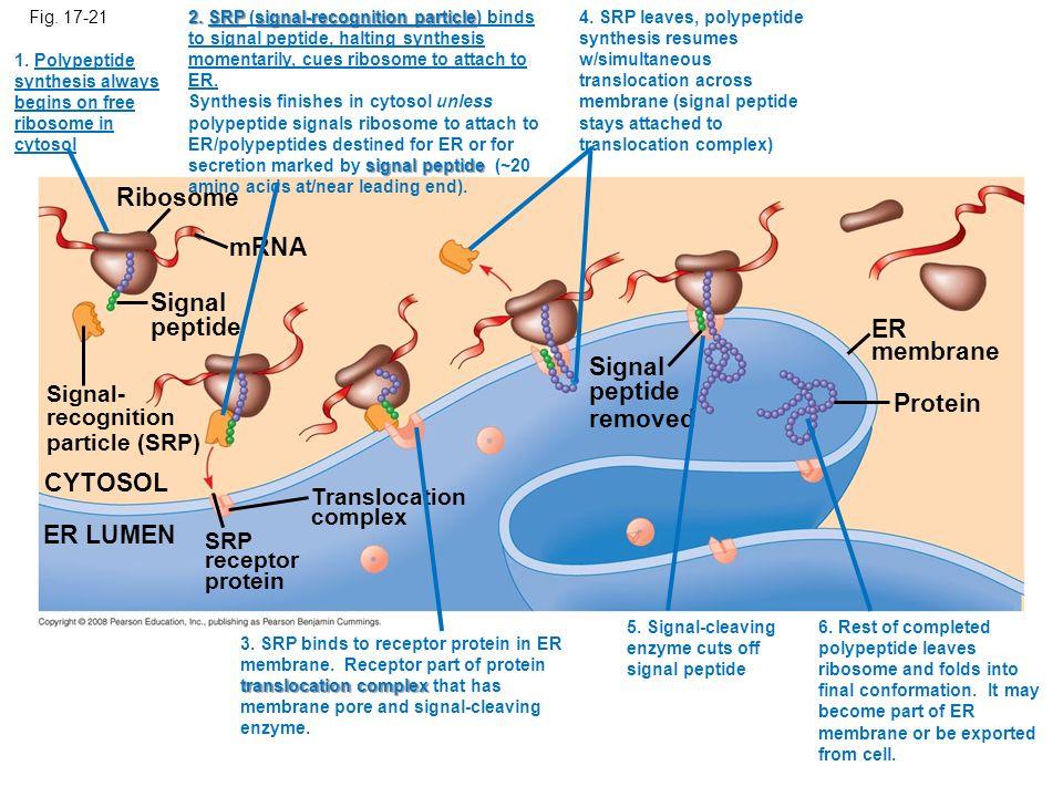 Ribosome mRNA Signal peptide ER membrane Signal peptide removed