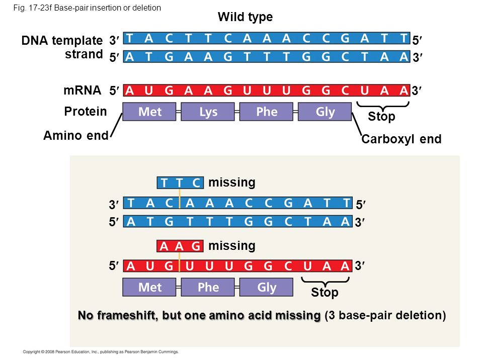 Wild type DNA template strand 3 5 5 3 mRNA 5 3 Protein Stop
