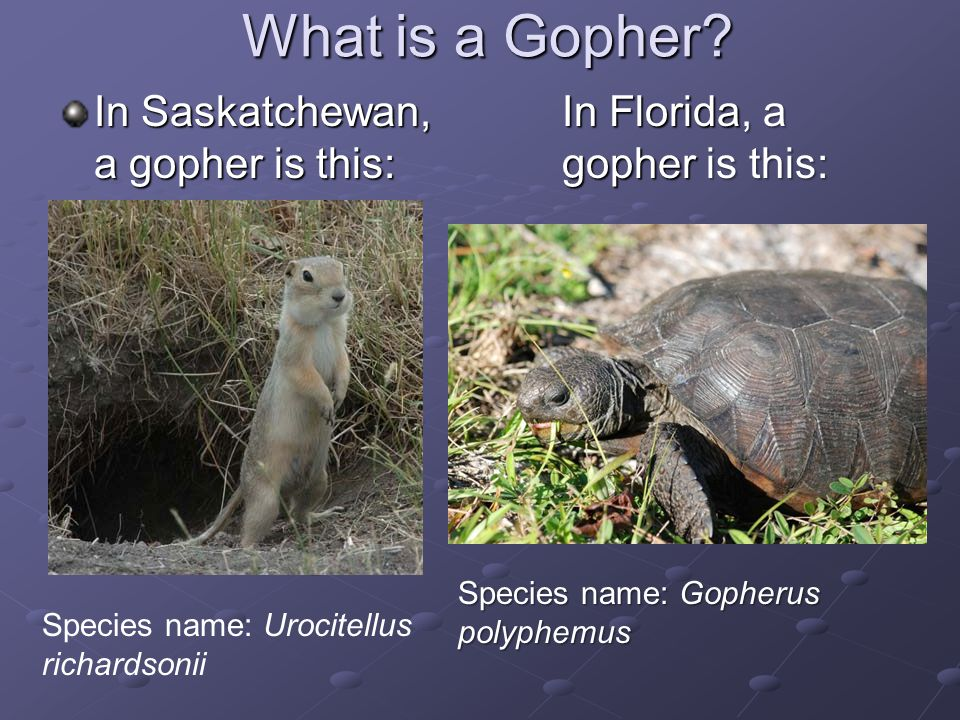 What is a Gopher In Saskatchewan, a gopher is this: