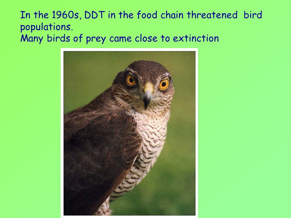 In the 1960s, DDT in the food chain threatened bird populations