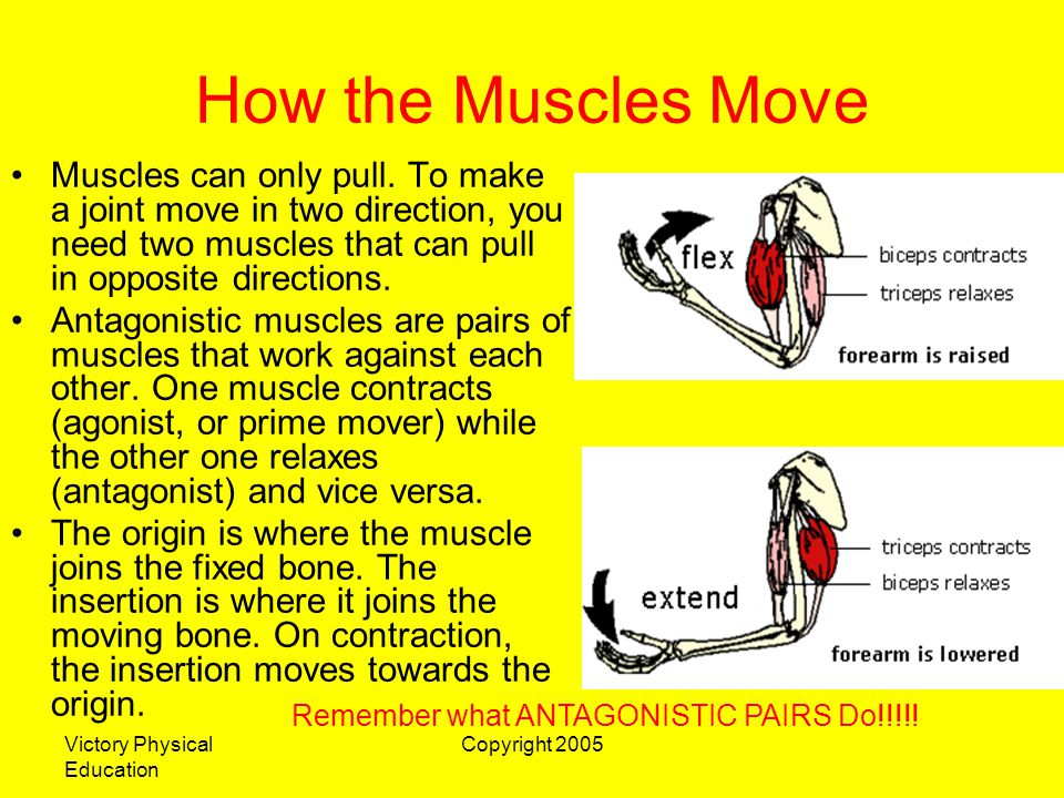 How the Muscles Move Muscles can only pull. To make a joint move in two direction, you need two muscles that can pull in opposite directions.
