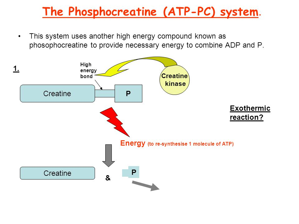 re-synthesise atp As the name suggests the atp-pc system consists of adenosine triphosphate (atp) and phosphocreatine (pc) this energy system provides immediate energy through the.