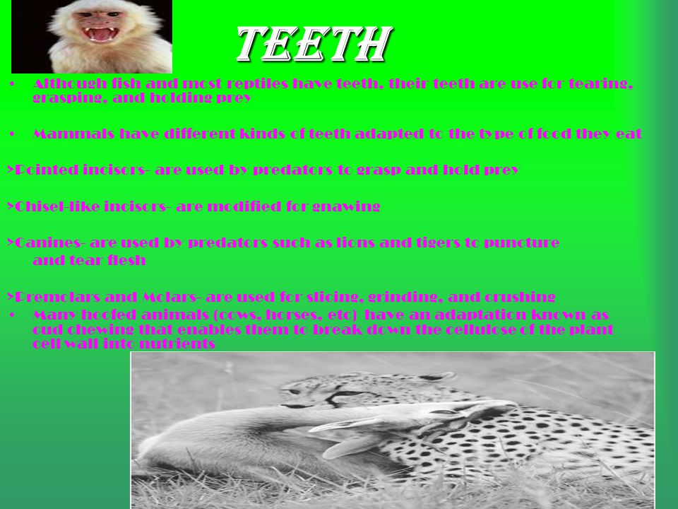 Teeth Although fish and most reptiles have teeth, their teeth are use for tearing, grasping, and holding prey.