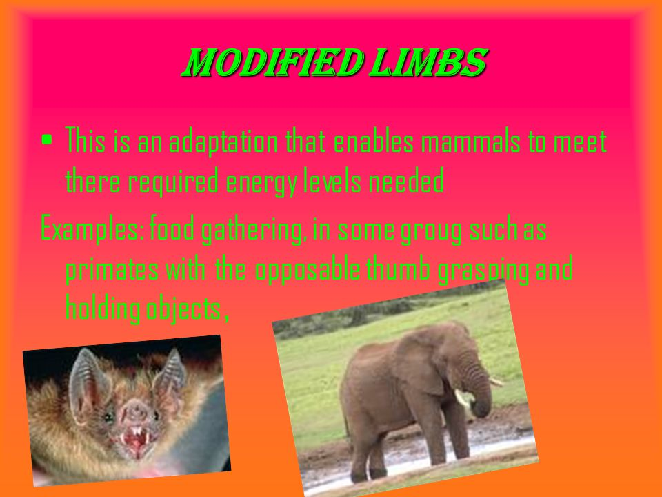 Modified limbs This is an adaptation that enables mammals to meet there required energy levels needed.