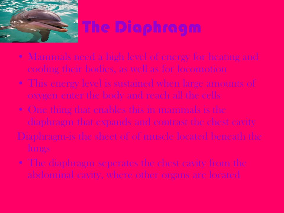 The Diaphragm Mammals need a high level of energy for heating and cooling their bodies, as well as for locomotion.