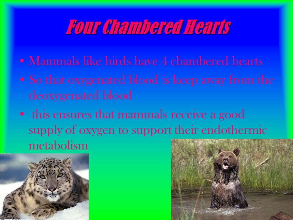 Four Chambered Hearts Mammals like birds have 4 chambered hearts