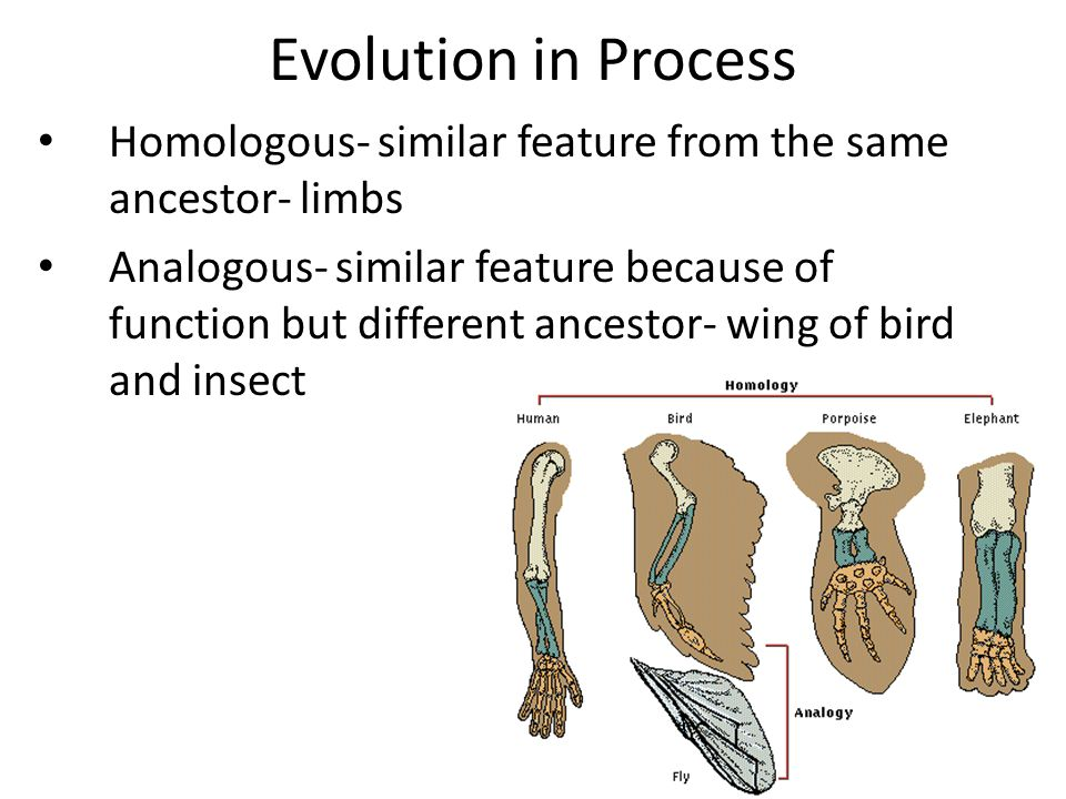 Evolution in Process Homologous- similar feature from the same ancestor- limbs.
