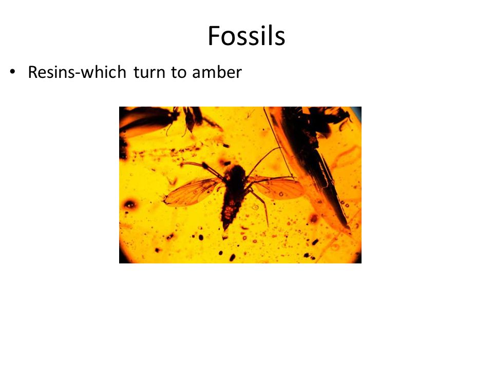 Fossils Resins-which turn to amber