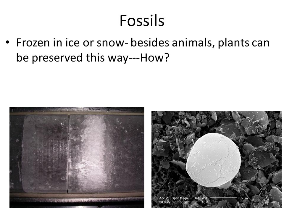 Fossils Frozen in ice or snow- besides animals, plants can be preserved this way---How