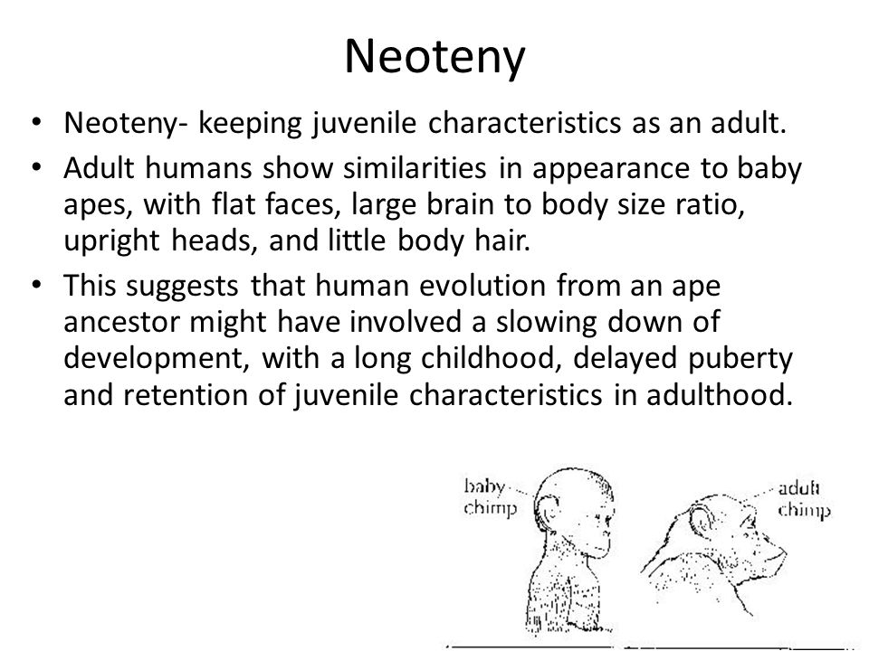 Neoteny Neoteny- keeping juvenile characteristics as an adult.
