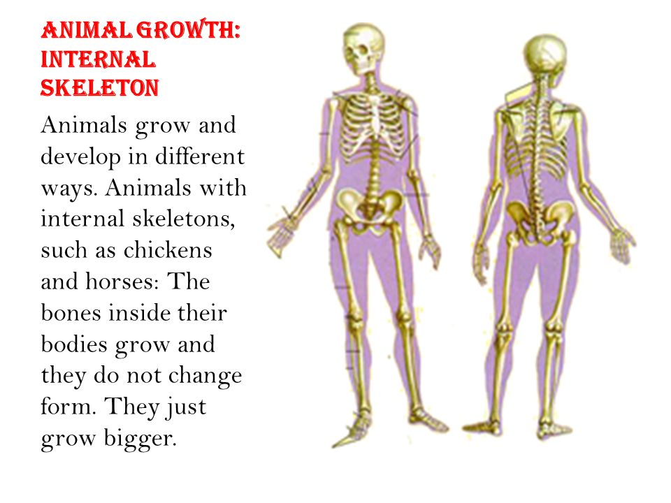 Animal growth: Internal skeleton