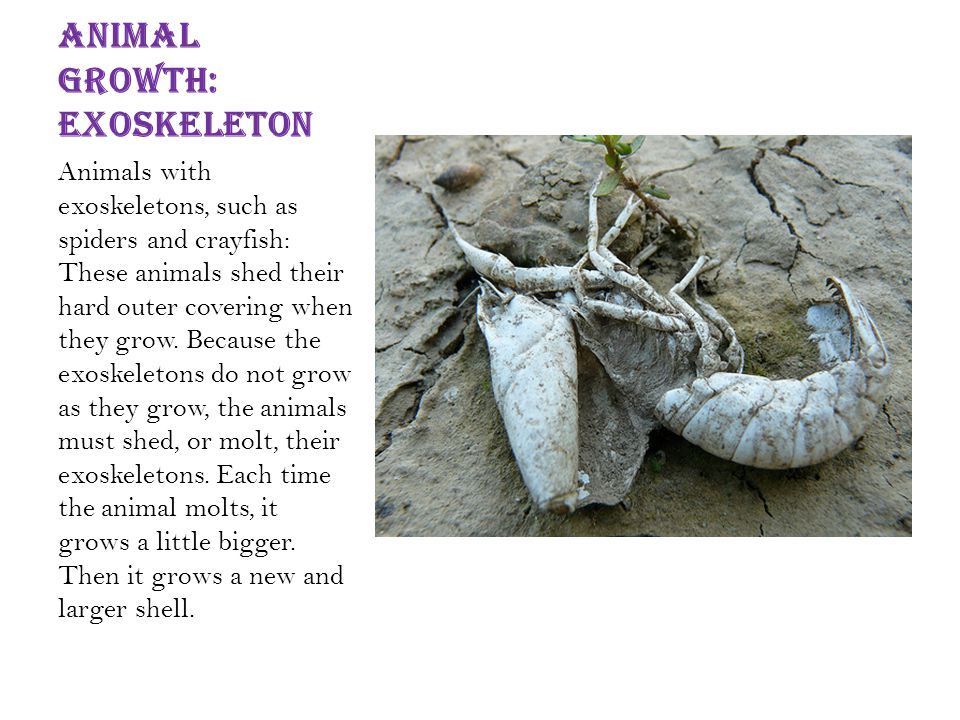 Animal growth: Exoskeleton