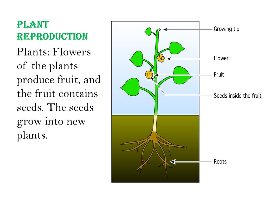 Plant Reproduction Plants: Flowers of the plants produce fruit, and the fruit contains seeds.