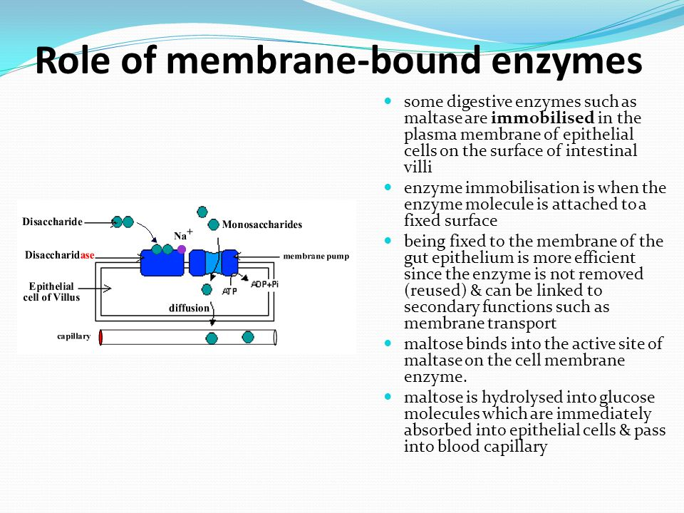 Role of membrane-bound enzymes