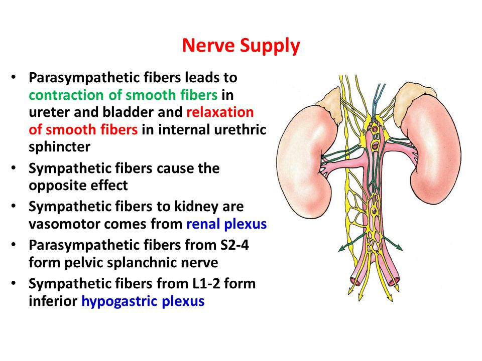 Anatomy of he Urinary System - ppt video online download
