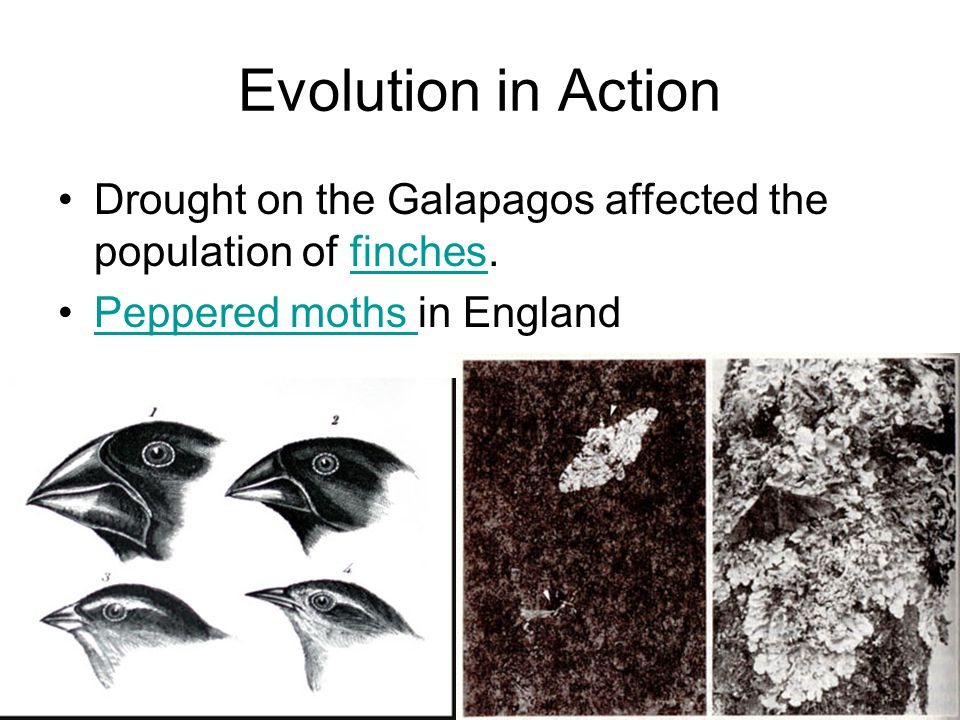 Evolution in Action Drought on the Galapagos affected the population of finches.