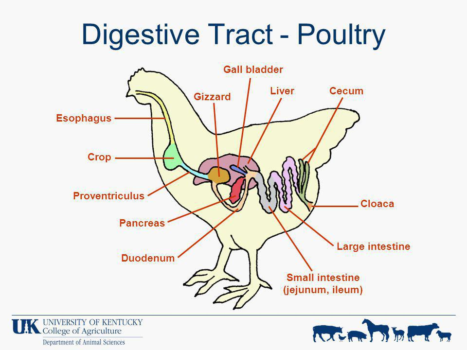 Digestive Tract - Poultry