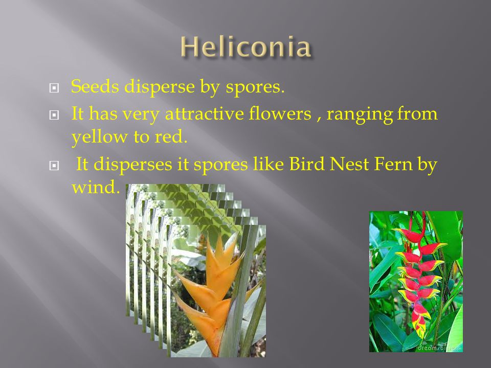 Heliconia Seeds disperse by spores.