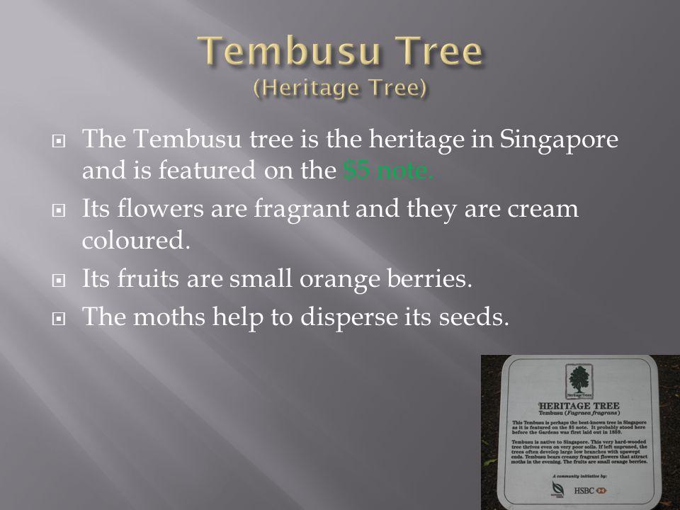 Tembusu Tree (Heritage Tree)