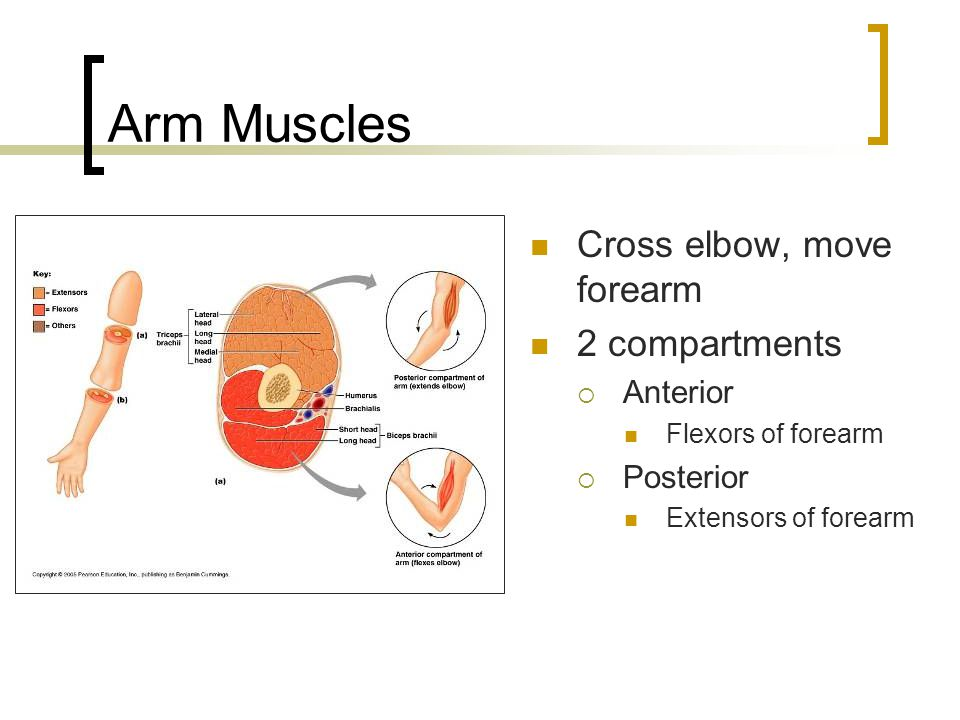 Arm Muscles Cross elbow, move forearm 2 compartments Anterior