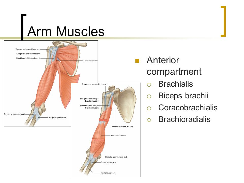 Arm Muscles Anterior compartment Brachialis Biceps brachii