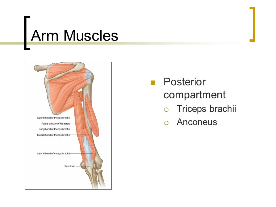 Arm Muscles Posterior compartment Triceps brachii Anconeus