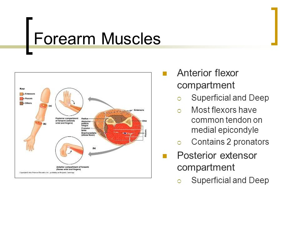Forearm Muscles Anterior flexor compartment