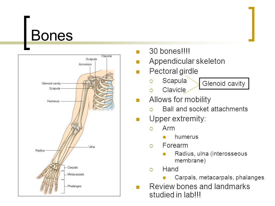 Bones 30 bones!!!! Appendicular skeleton Pectoral girdle