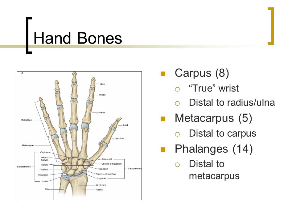 Hand Bones Carpus (8) Metacarpus (5) Phalanges (14) True wrist