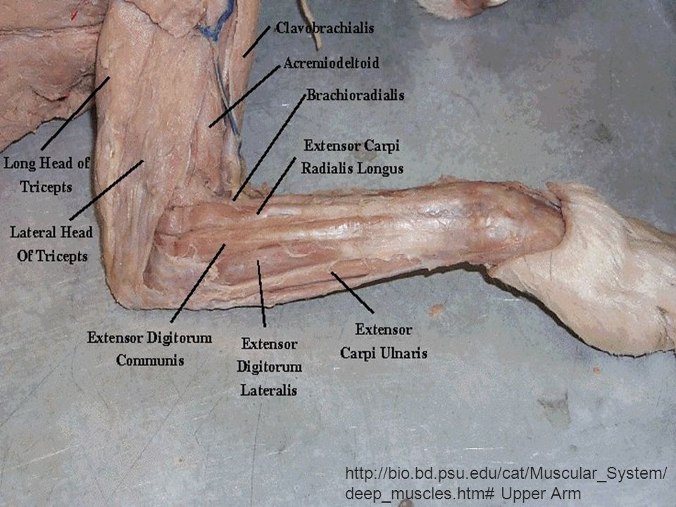 http://bio.bd.psu.edu/cat/Muscular_System/deep_muscles.htm# Upper Arm