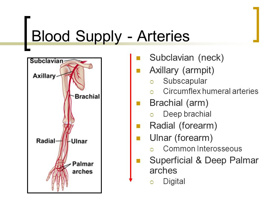 Blood Supply - Arteries