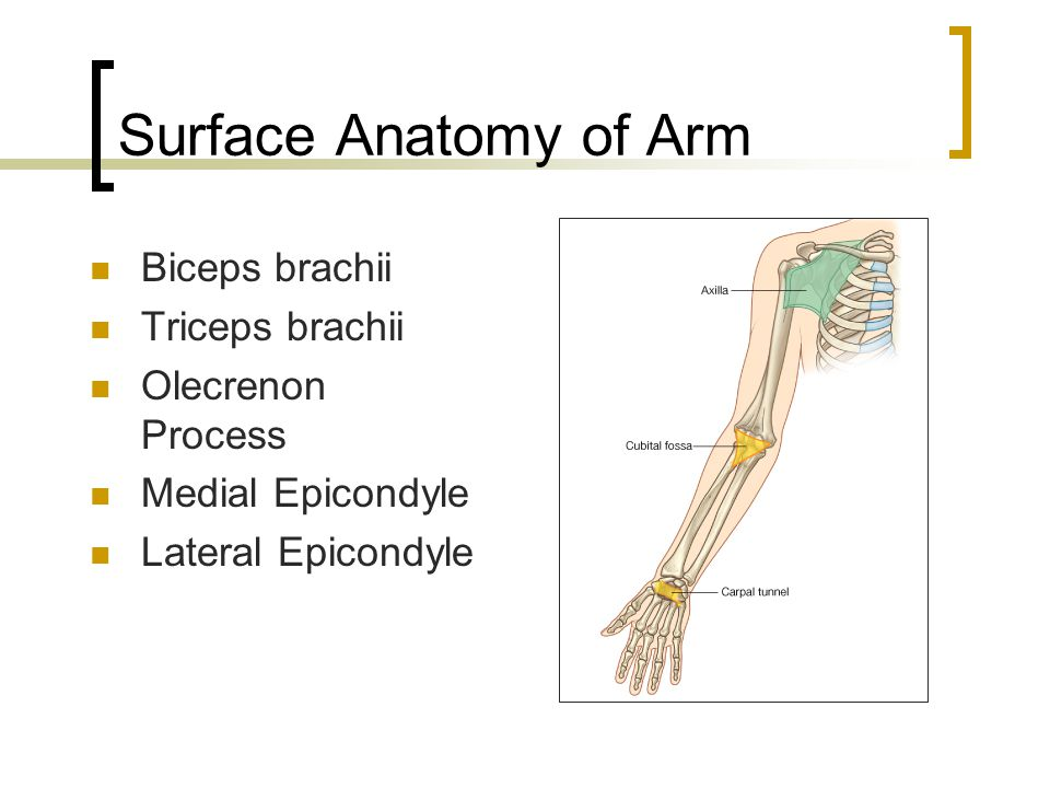 Surface Anatomy of Arm Biceps brachii Triceps brachii