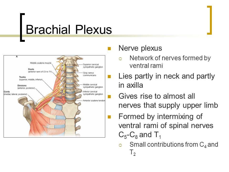 Brachial Plexus Nerve plexus Lies partly in neck and partly in axilla