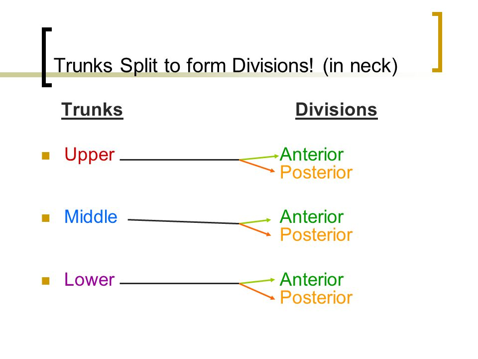 Trunks Split to form Divisions! (in neck)