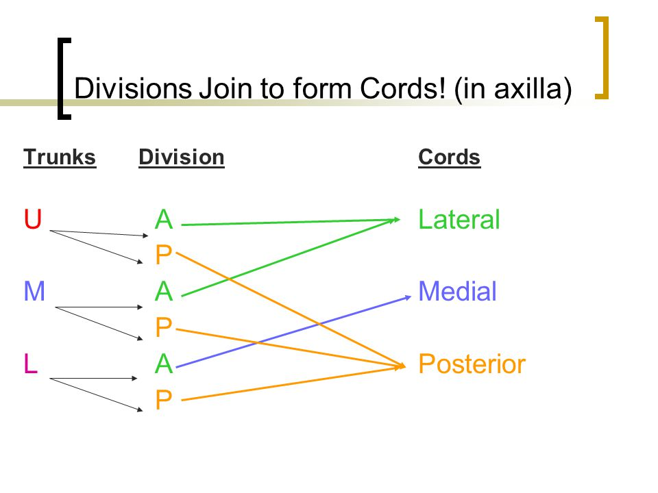 Divisions Join to form Cords! (in axilla)