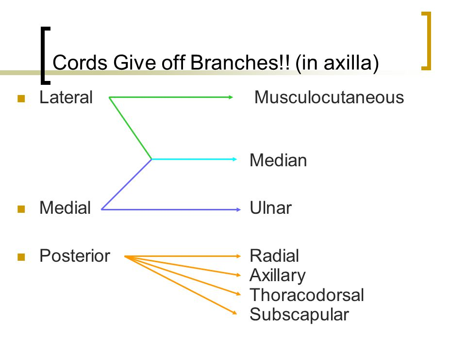 Cords Give off Branches!! (in axilla)