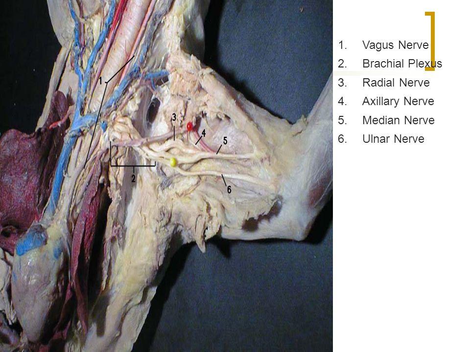 1. Vagus Nerve 2. Brachial Plexus 3. Radial Nerve 4. Axillary Nerve 5. Median Nerve 6. Ulnar Nerve
