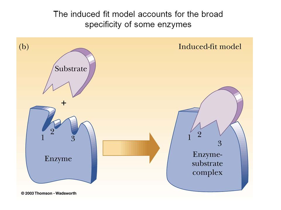 The induced fit model accounts for the broad specificity of some enzymes