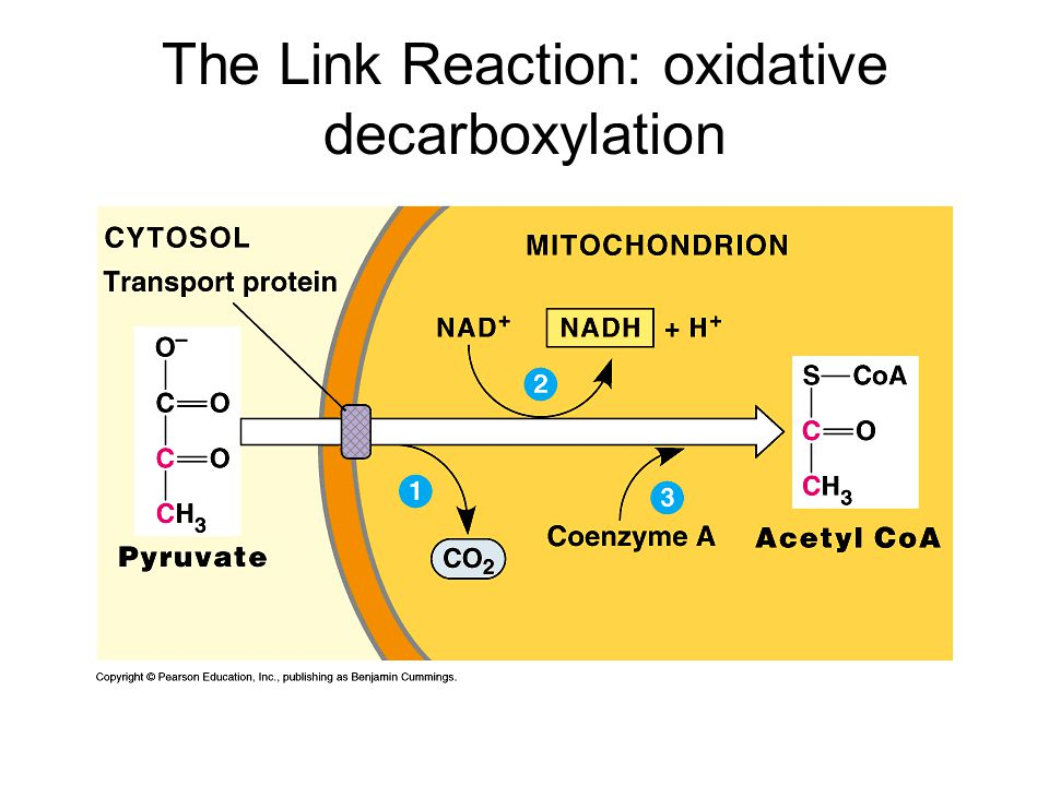 The Link Reaction: oxidative decarboxylation