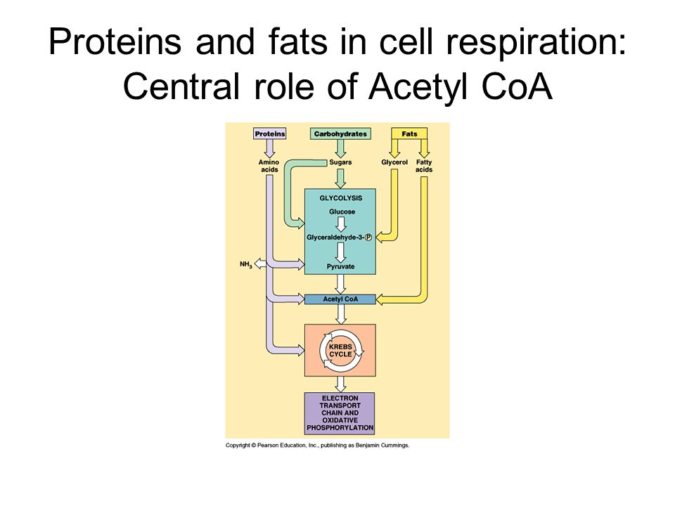 Proteins and fats in cell respiration: Central role of Acetyl CoA