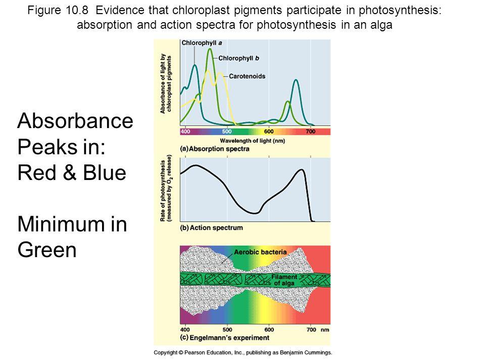 Absorbance Peaks in: Red & Blue Minimum in Green