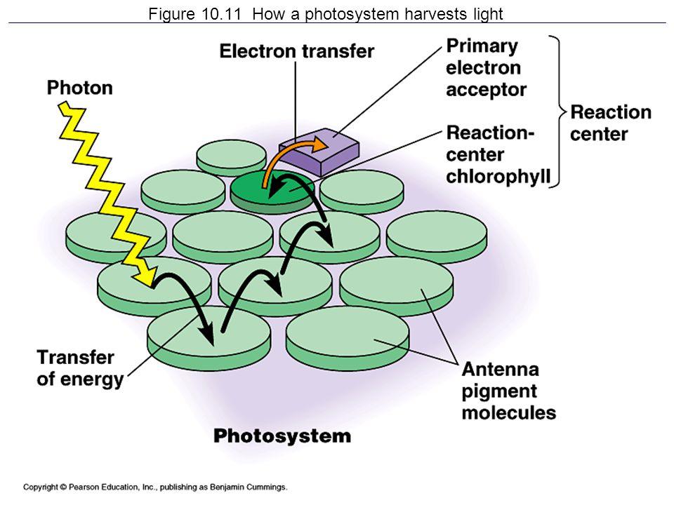 Figure 10.11 How a photosystem harvests light